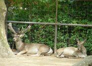 Bactrian buck and doe