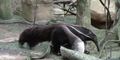 Brookfield Zoo Anteater