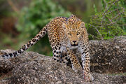 Indian Leopard (V2).jpg