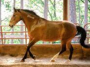 Mustang (Equus ferus caballus)