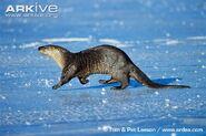 North-american-otter
