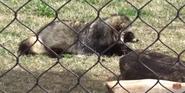 Oklahoma City Zoo Racoon Dog