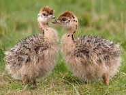 Ostrich-chicks-For-Sell.jpg 350x350