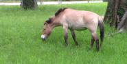 Brookfield Zoo Horse