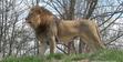 Fort Wayne Children's Zoo Lion