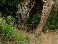 HugoSafari - Giraffe07