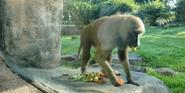 Kansas City Zoo Baboon