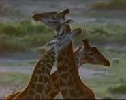 MATG Giraffes