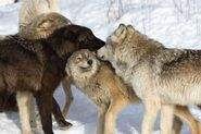 Pack of Great Plains wolves