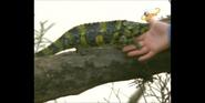 Scout's Safari Chameleon