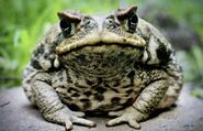 Toad, Cane
