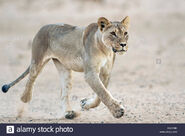Transvaal Lioness