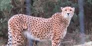 WMSP Cheetah