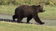 WTAF Grizzly