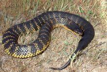 Western tiger snake jenkins big.jpg