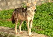 Wolf, Indian.jpg