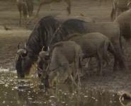 AFO Wildebeests