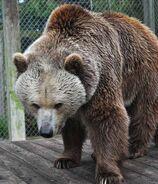 Bear, Eurasian Brown