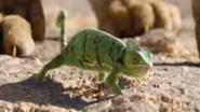 Chameleon TLK 2019
