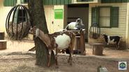 Cincinnati Zoo Goats