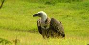 Cincinnati Zoo Vulture
