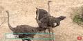Dallas Zoo Ostriches