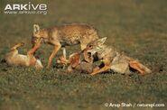 Golden jackal pack