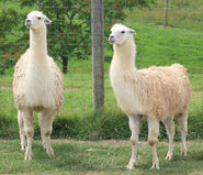Male and Female Llamas