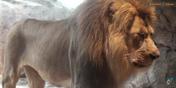 Milwaukee County Zoo Lion