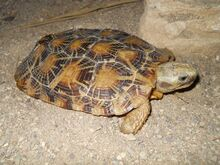 Pancake tortoise.jpg
