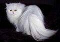 Persian-cat
