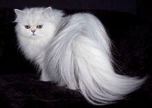 Persian-cat.jpg