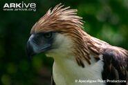 Philippine-eagle-portrait