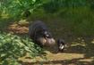Pygmy-hippopotamus-planet-zoo