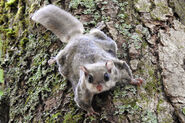 Squirrel, Southern Flying