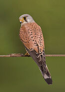 220px-Common kestrel falco tinnunculus