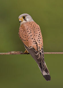 220px-Common kestrel falco tinnunculus.jpg