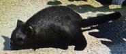 Common Brushtail Possum ZTX