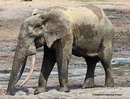 Elephant, African Forest (V2)