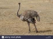 Female Southern Ostrich