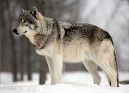 Grey Wolf (V2)