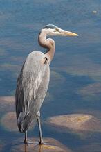 Heron, great blue.jpg