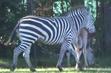 Nashville Zoo Grant's Zebra