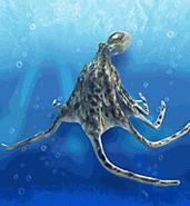 Pacific Octopus ZT