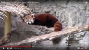 Saint Louis Zoo Red Panda