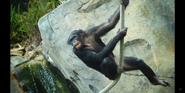 San Diego Zoo Chimp