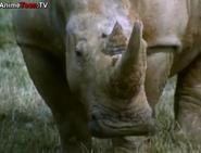 TASwSaJ White Rhino