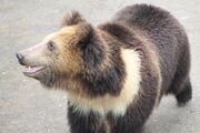 Ursus arctos pruinosus.jpg