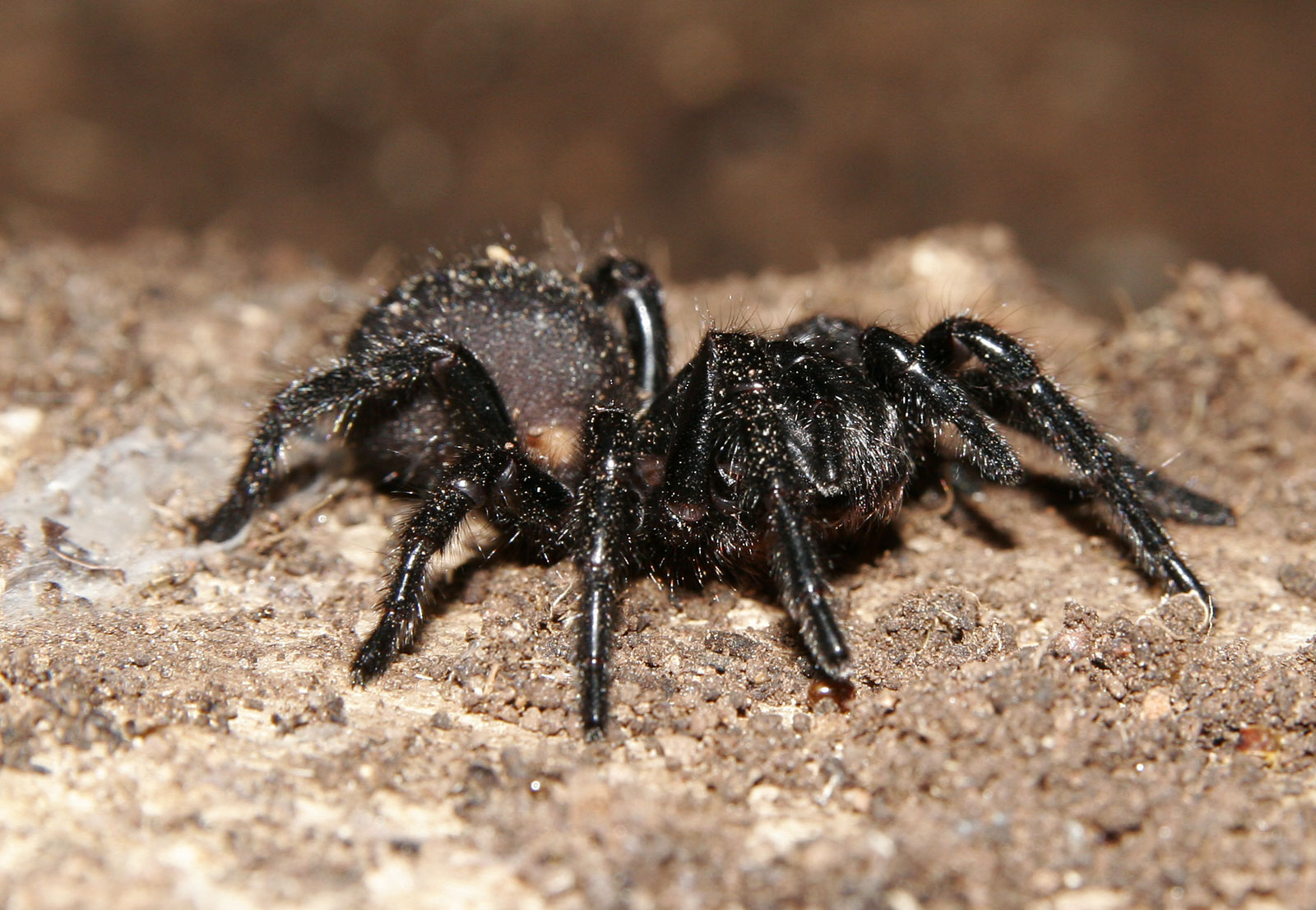 Funnel-Web Spider