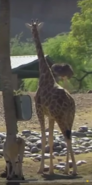 Animal Atlas Giraffe
